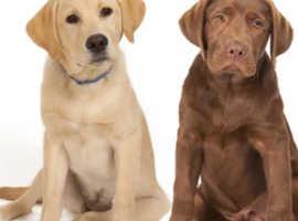 Wanted Labrador retriever Maidstone