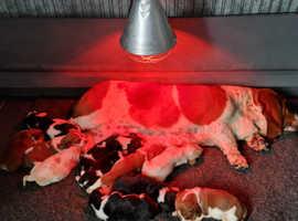 KC Reg Basset Hound puppies