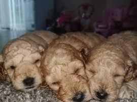 F1b cockerpoo puppies