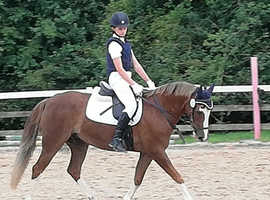 Light weight dressage pony