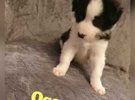 5 xBeautiful Border collie puppies ready in 2 weeks
