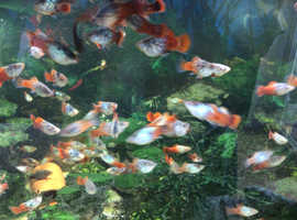 Tropical fish platys