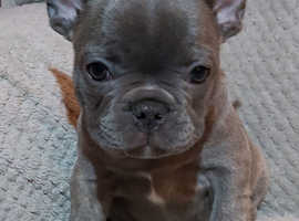 Quality French Bulldog Puppies Ready Now.