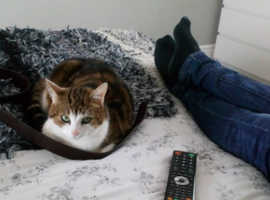 Missing cat Bedford