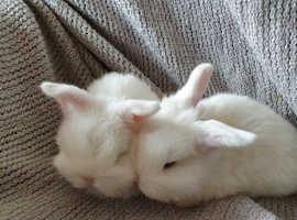 Beautiful Mini lop  baby rabbits, blue eyes.