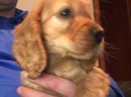 Beautiful Golden Cocker Spaniel Pup for Sale