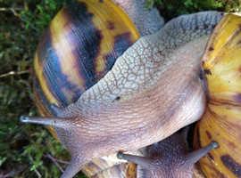 Three large Tiger Snails