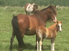 Filly foal - estimated to make approx 12.2hh - 13hh
