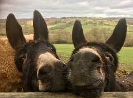 Well bonded pair of donkeys.