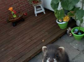 Two EU ferret Jill kits for sale
