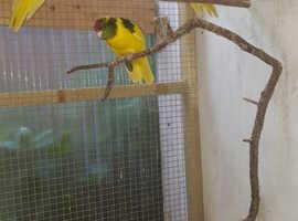 Young aviary bred Kakarikis