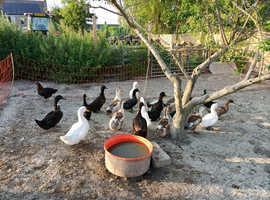 Various POL Ducks