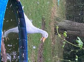 Male Pekin Duck