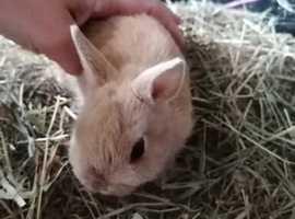 Rabbit bunny - 8 weeks boy.