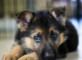 WANT TO BUY a German shepherd pup or x