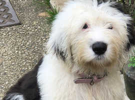 6month old female old English sheepdog pup