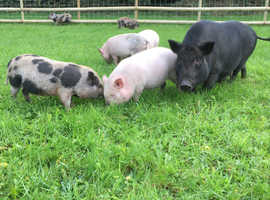 Mini piglets for sale