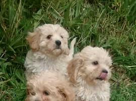 Golden Cavachon puppies