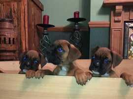 Boxer Puppies KC REG