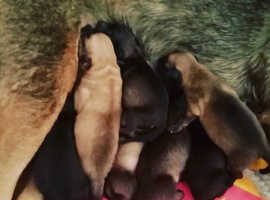 Lovely Belgium malinois x puppies for sale