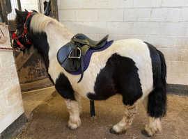 ***Dartmoor x cob pony for sale ***