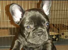 2 female French bulldogs left