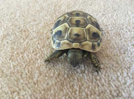 Hermann's boetgerri tortoises for sale