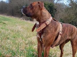 Puppy's ready soon presa canario x American blue blood bulldog