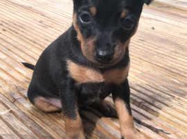 Miniature pinscher boy