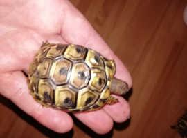 Hermanns tortoises (Testudo Hermanni bottgeri)