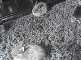 Netherland baby dwarf rabbits
