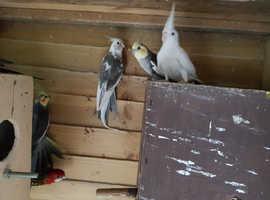 Cockatiel birds adults