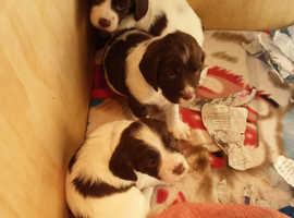 Gorgeous springer spaniel puppies
