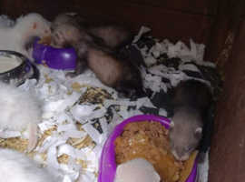 Ferrets and polecats ready to go to New homes