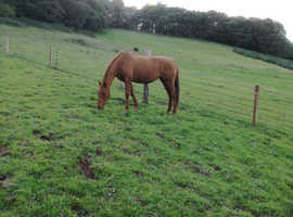 Happy hacker who needs a confident rider, 16hh thoroughbred mare