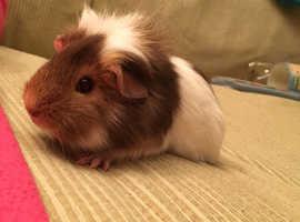 Guinea Pig - FEMALE