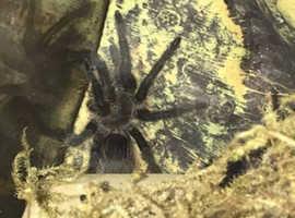 Tliltocatl albopilosus Tarantula and Exo Terra faunarium enclosure £75 ono