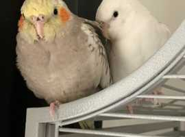Two male cockatiels for sale
