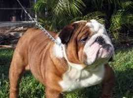 Wanted english bulldogs or any mini bulls ( puppy)