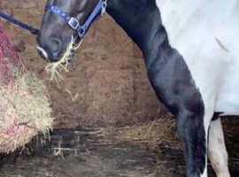 Stunning Quarter Horse X Mare