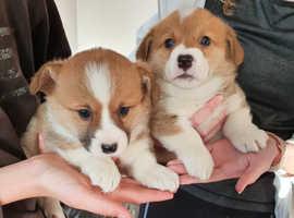 2 Corgi pups