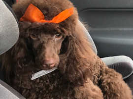 Phantom toy poodle