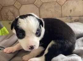 Collie pups - 1boy, 1 girl
