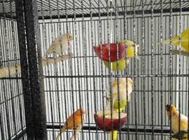 9 mixed canarys