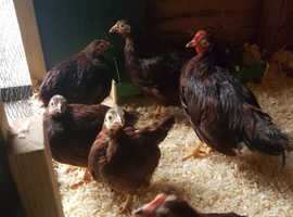 RHODE ISLAND RED BANTAMS