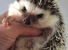 Pygmy hedgehog young female ready today