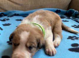 Beautiful border collie pups