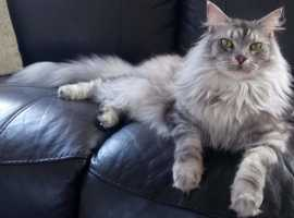 BEAUTIFUL female maincoon for sale