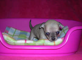 Tiny pedigree chihuahua puppy