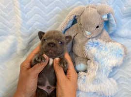 Stunning French Bulldog Blue Grey Puppies Frenchie Puppy dog boys KC kennel club reg
